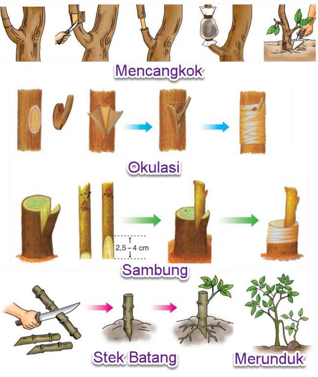 Perkembangbiakan Vegetatif Buatan Tumbuhan Rangkuman Umum