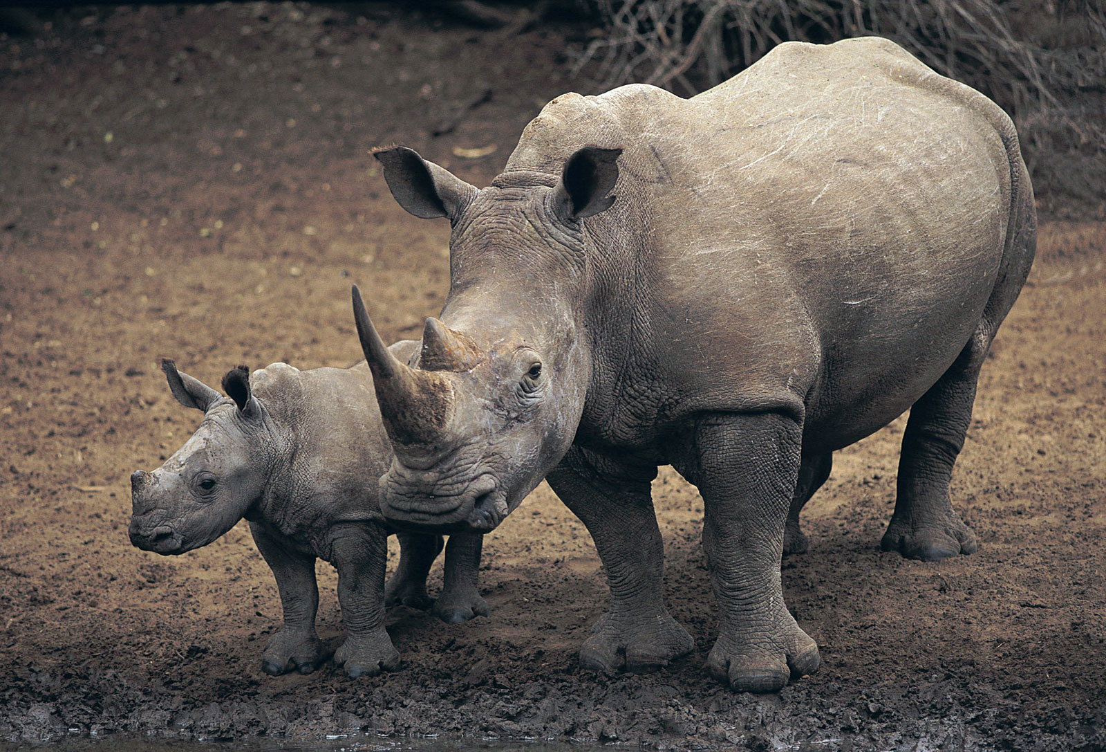 Q De Rhino ENCYCLOPEDIA OF ANIMAL...