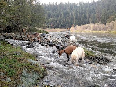 Goats cross China Creek near Klamath River, California