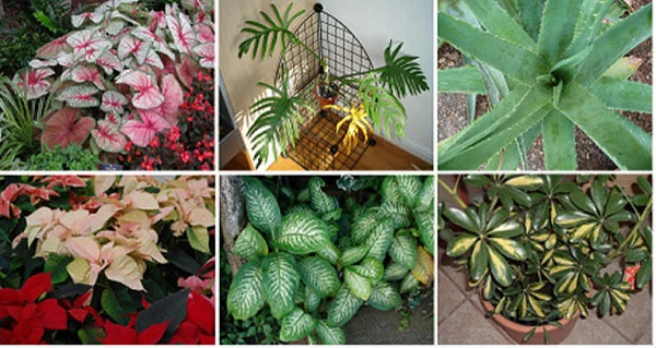 Top-10-Deadly-Plants-You-Should-Remove-From-Your-Home-Immediately
