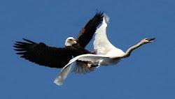 طائر العقاب أقوى طائر في العالم