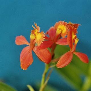 Gambar Bunga Anggrek Tercantik di Dunia 15