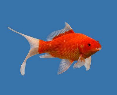 Jenis Ikan Komet Merah - Red Comet
