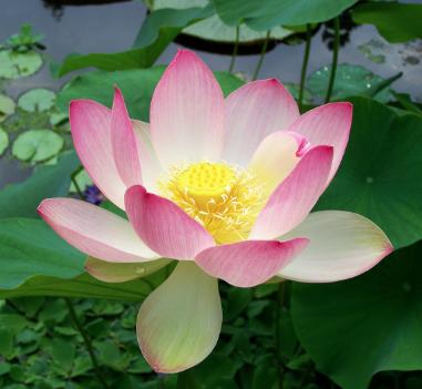 Manjurist Jakdans Song On Lotus Flowers