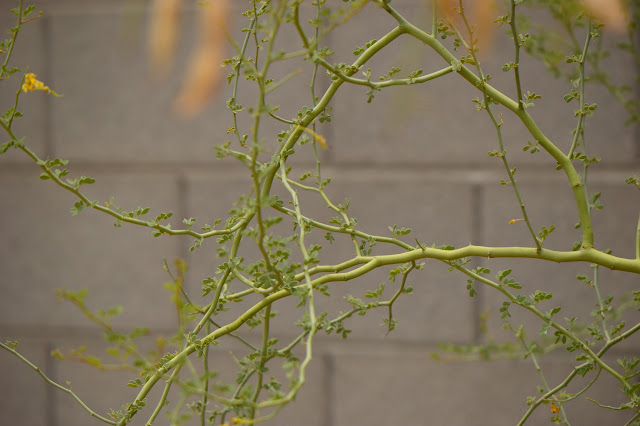 tree watching meme, parkinsonia florida, blue palo verde, desert tree, small sunny garden