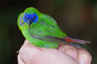 World's Smallest Parrot, Red Breasted Pygmy Parrot, Papua Endemic Species
