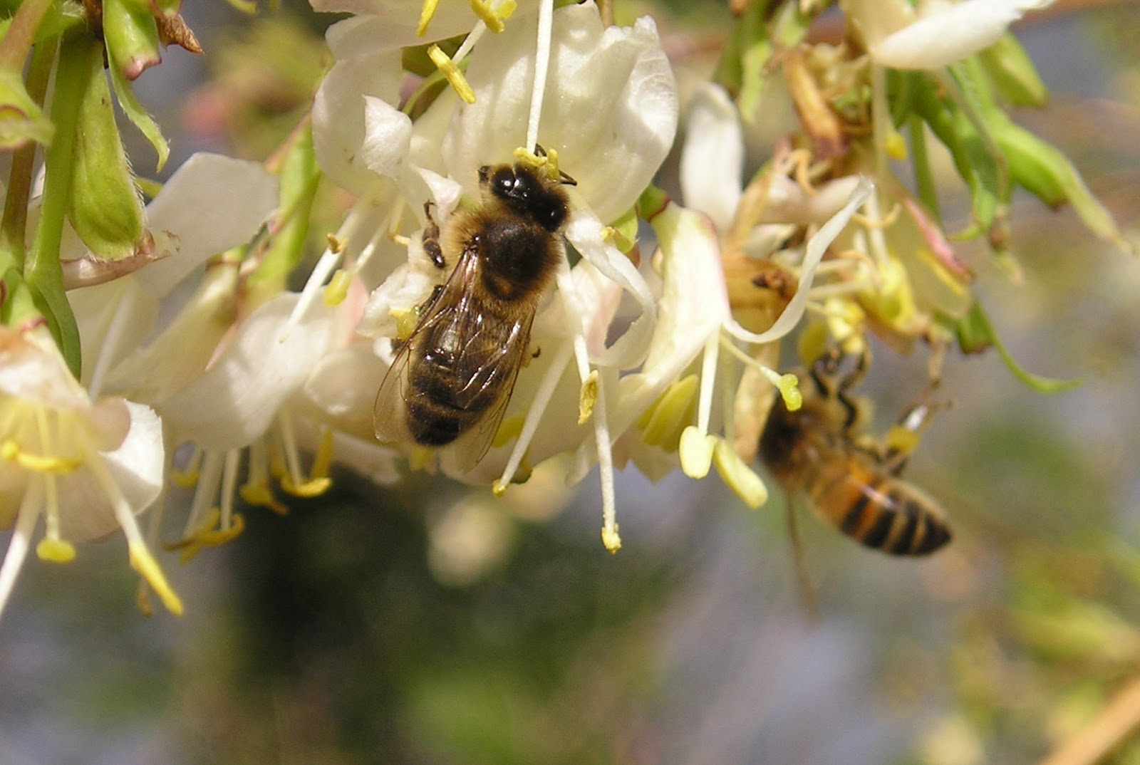 """Bees Have Never Really Been Domesticated In My View The Term €�feral""""  (having Returned To An Untamed State From Domestication) Is Inappropriate"""