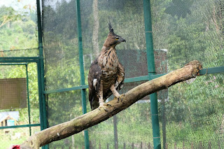 Javan Hawk Eagle