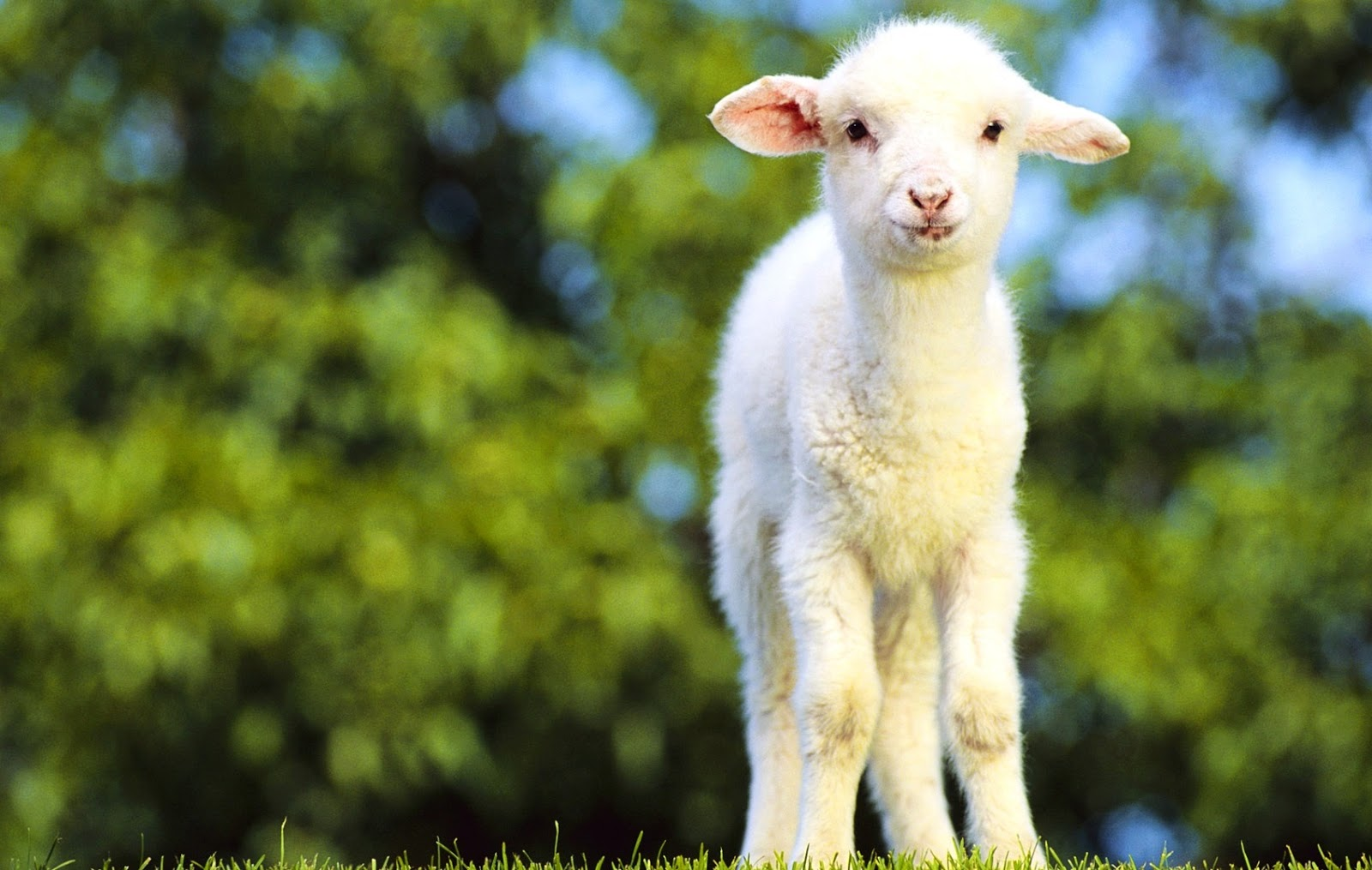 Funny Cute Sheeps | Funny Animals