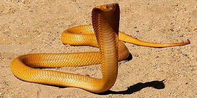 cobra amarilla Naja nivea