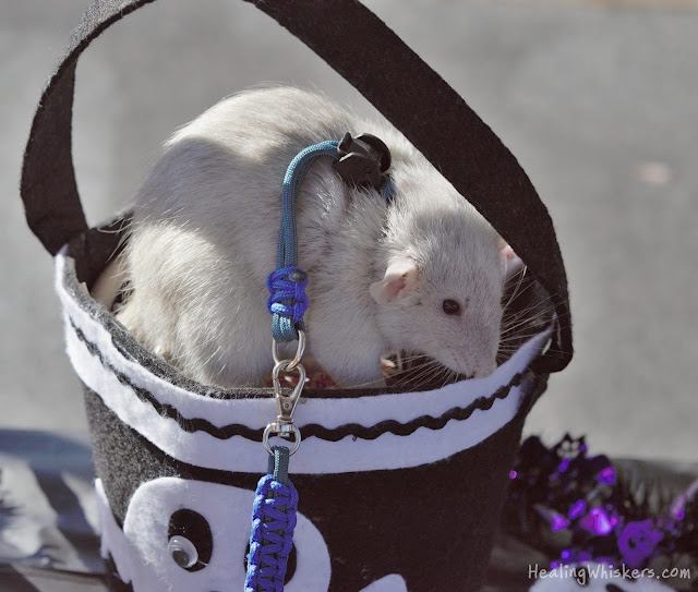 Oliver, a therapy rat in training, in a candy bowl