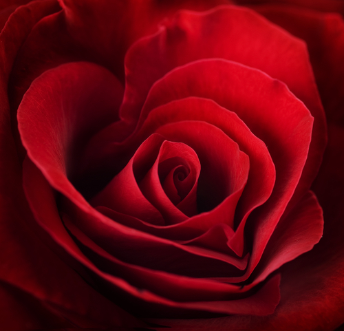 The Meaning Of Rose Colors Red White Pink And More