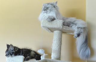 Persian Cat With His Scratching Posts