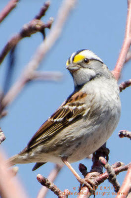 White-throated Sparrow. Photo © Shelley Banks; all rights reserved.