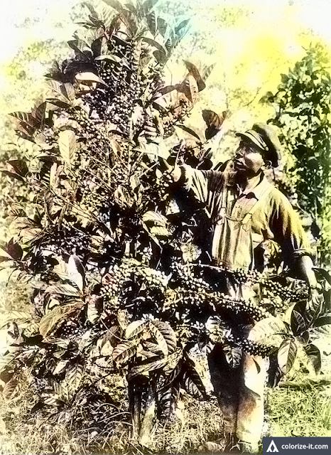 A photo of a man harvesting coffee in Batangas in 1927.  Image source:  University of Wisconsin Digital Collections.