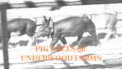 Underwood Farms Pig Races (c) the Joyous Living
