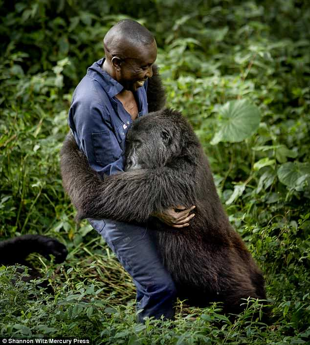 Gorilla hugs keeper trying to protect her in the Congolese rain forest