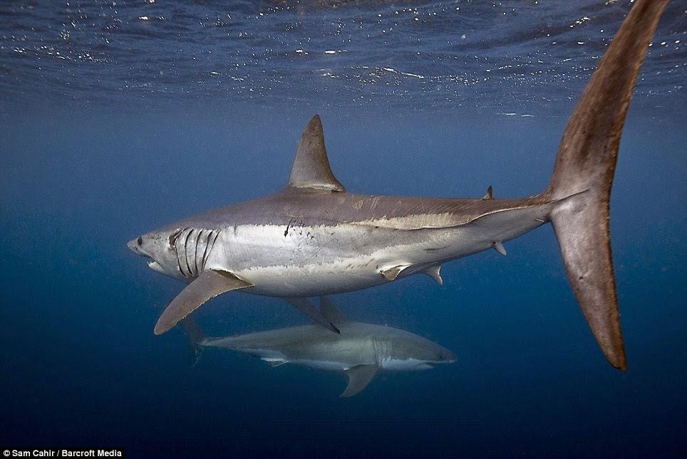 Tiburones en Galicia: Ventajas de la endotermia