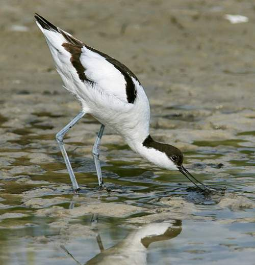 Birds of India - Photo of Pied avocet - Recurvirostra avosetta