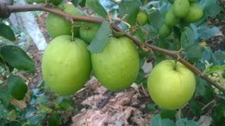 एप्पल बैर की खेती और उसमे लगने वाले रोग