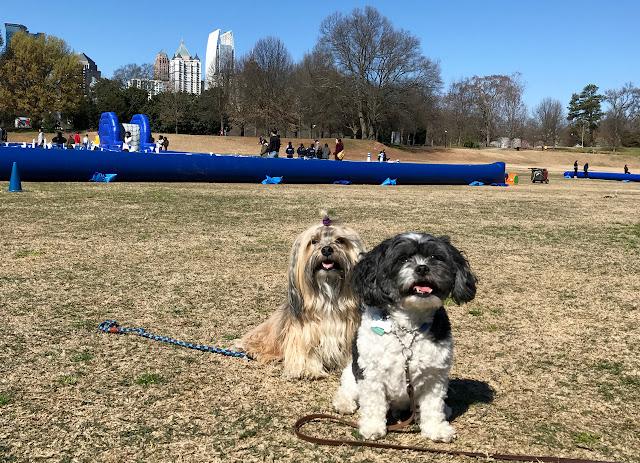 Rocco Havanese dog in Piedmont Park, Atlanta