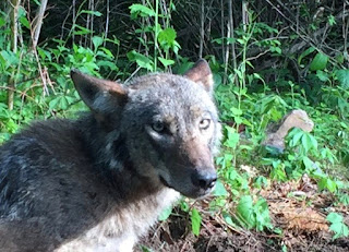 Elvis, a male coyote, looking at the camera with his ears partway back.