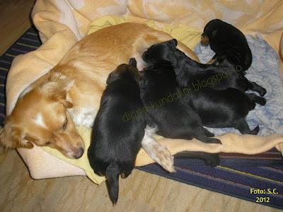 cinci pui de caine hranindu-se la mama lor