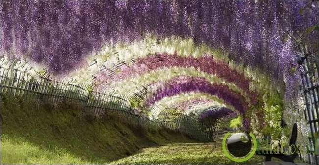Terowongan Wisteria, Jepang