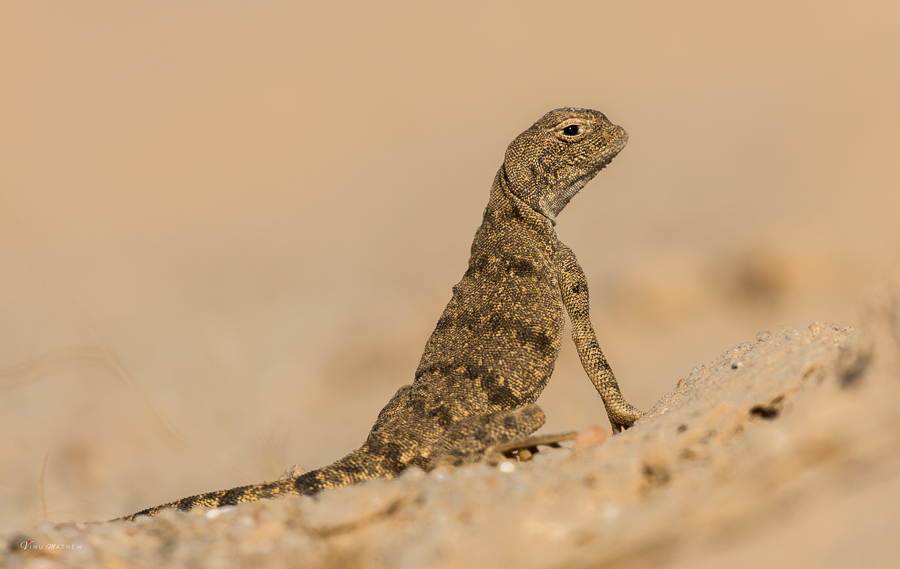 Spotted Toad-headed Agama