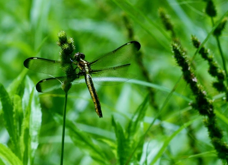 Wahkeena Nature Preserve: Dragons and Damsels - photo#44