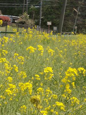 永福寺跡菜の花
