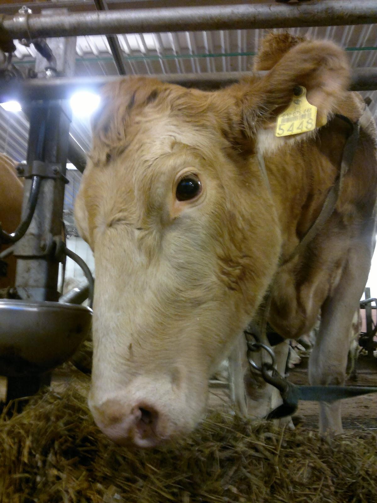 Lehmän Paino