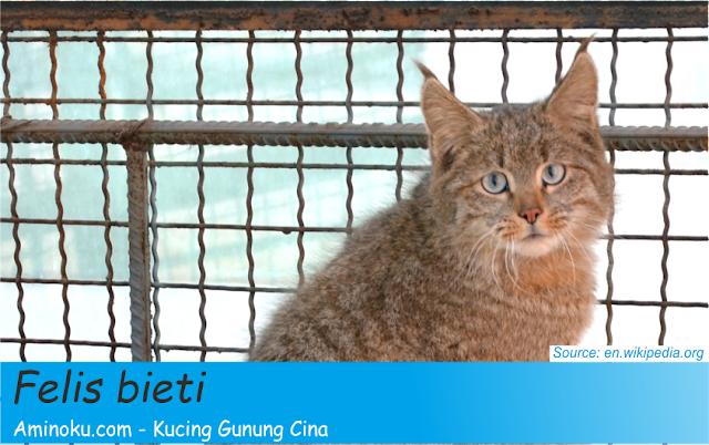 Fakta kucing gunung cina