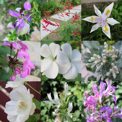 June flowers Septemberbossie, pineapple sage, Dietes pelargoniums, Brachylaena buds Iceberg rose, white and purple Hypoestes