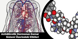 Antidiüretik Hormonun Damar Sistemi Üzerindeki Etkileri