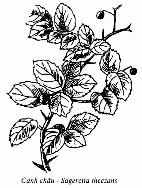 Hình vẽ Canh Châu - Sageretia theezans - Nguyên liệu làm thuốc Chữa Cảm Sốt
