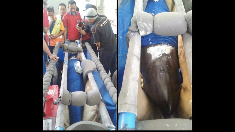 Sriwijaya Air angkut lumba-lumba