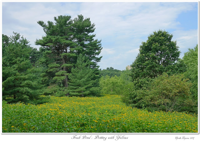 Fresh Pond: Dotting with Yellows