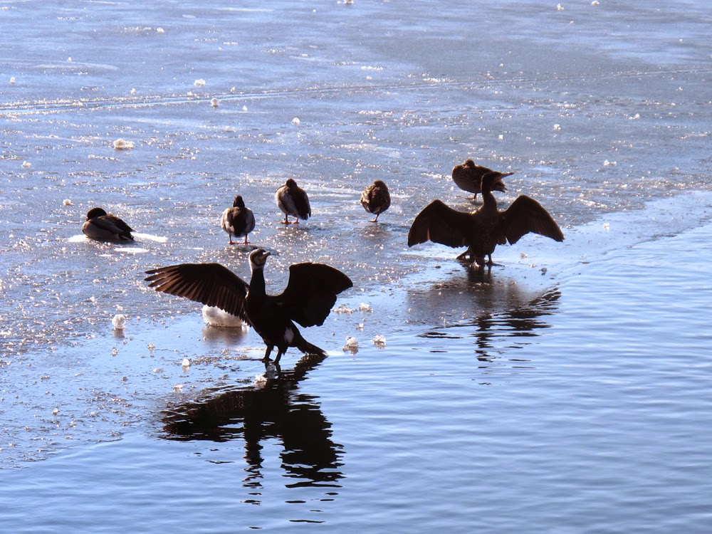 Birds on the frozen lake in Zell Am See, Austria