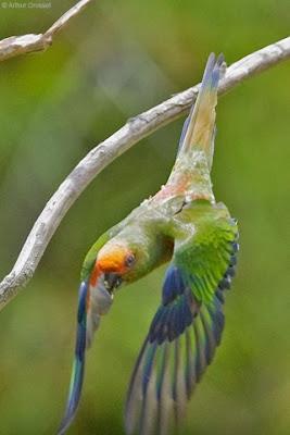 Golden capped Parakeet