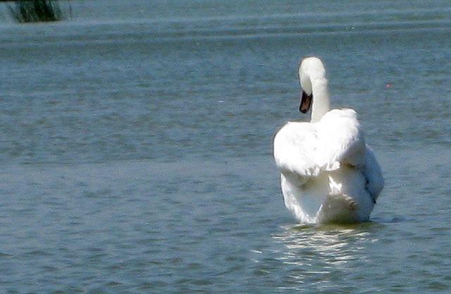 Фото Виталия Бабенко: лебедь