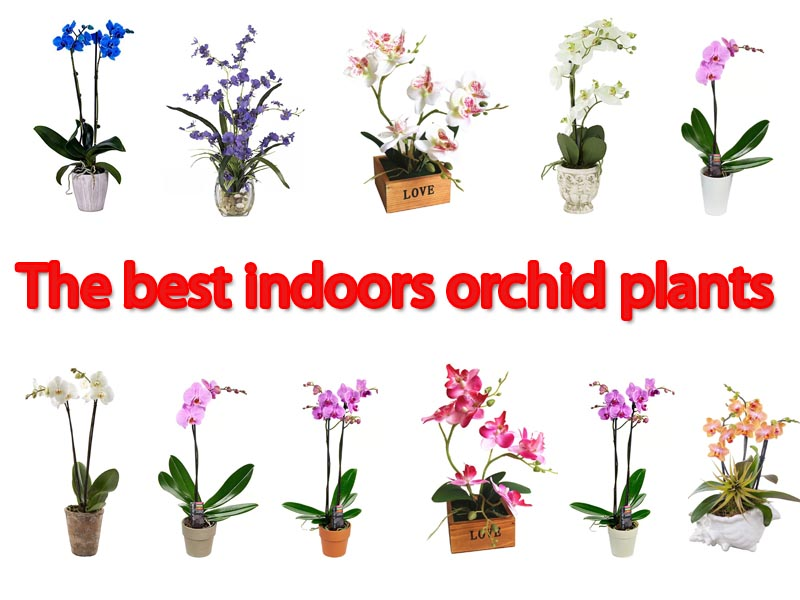 Best Sellers Indoor Orchids