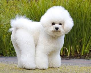 Si usted ha decidido comprar cachorros Bichon