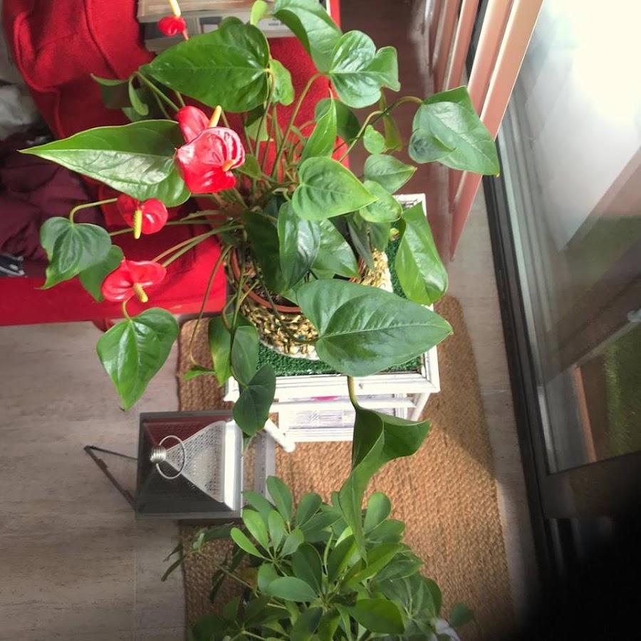 Anthurium con flores