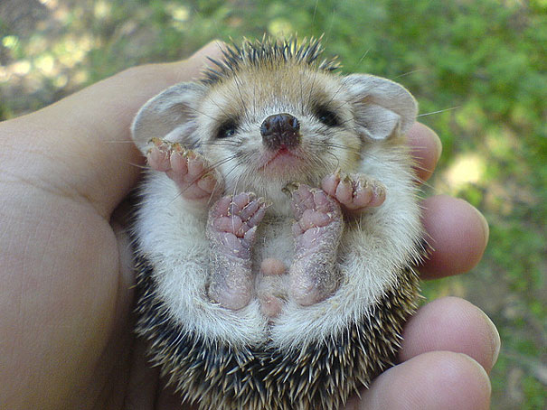 Baby Animals: Baby Hedgehog