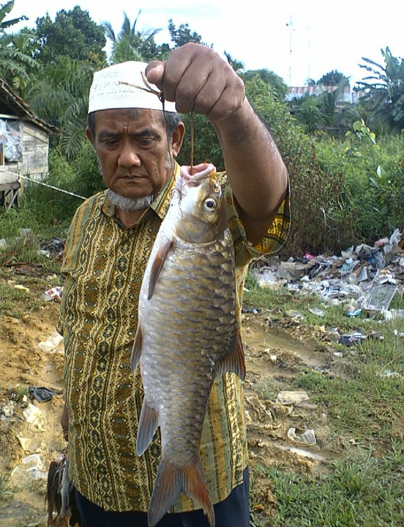 pemijahan ikan tawes secara alami