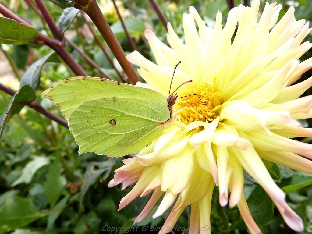 Sim brico jardin le citron papillon for Jardin hamel papillon 2016