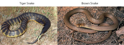 tiger snake and brown snake