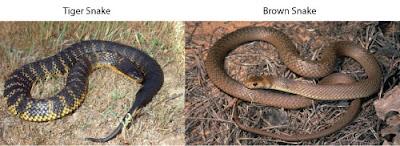 tiger snake and brown snake