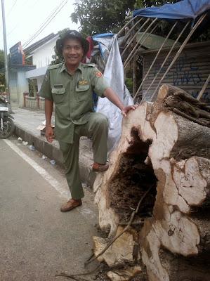 Pohon tua yang lapuk berpotensi tumbang.
